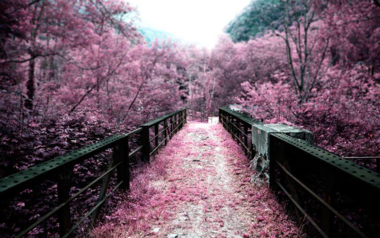 Cherry Blossom Tree Wallpaper 12 2560x1600 768x480