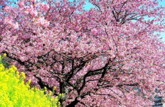 Cherry Blossom Tree Wallpaper 13 2560x1440 340x220