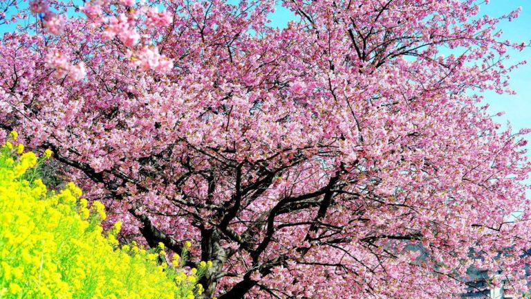 Cherry Blossom Tree Wallpaper 13 2560x1440 768x432