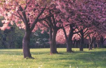 Cherry Blossom Tree Wallpaper 14 2560x1600 340x220