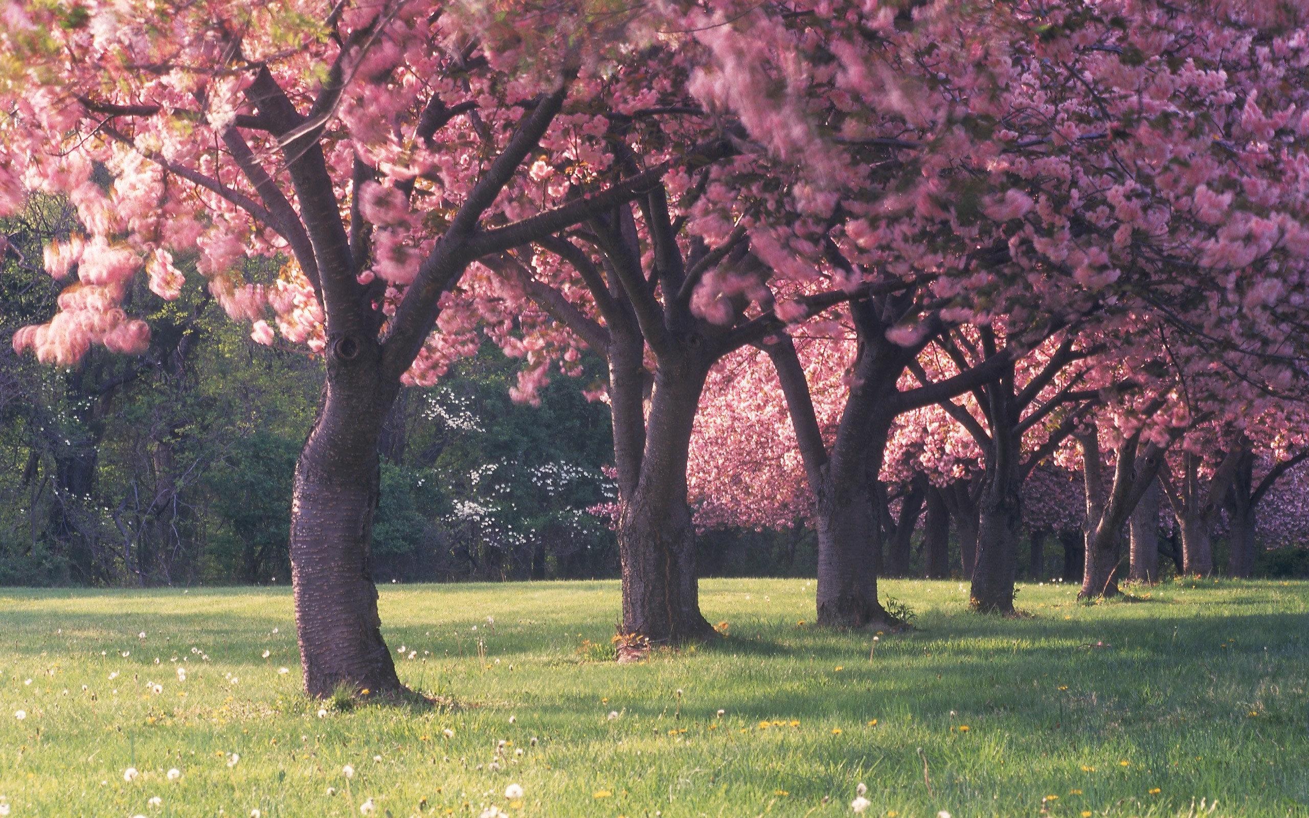 Cherry Blossom Tree Wallpaper 14