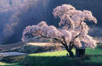 Cherry Blossom Tree Wallpaper 15 1152x720 340x220