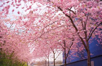 Cherry Blossom Tree Wallpaper 18 1920x1200 340x220