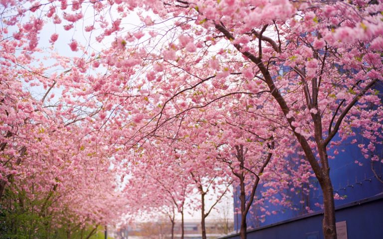 Cherry Blossom Tree Wallpaper 18 1920x1200 768x480