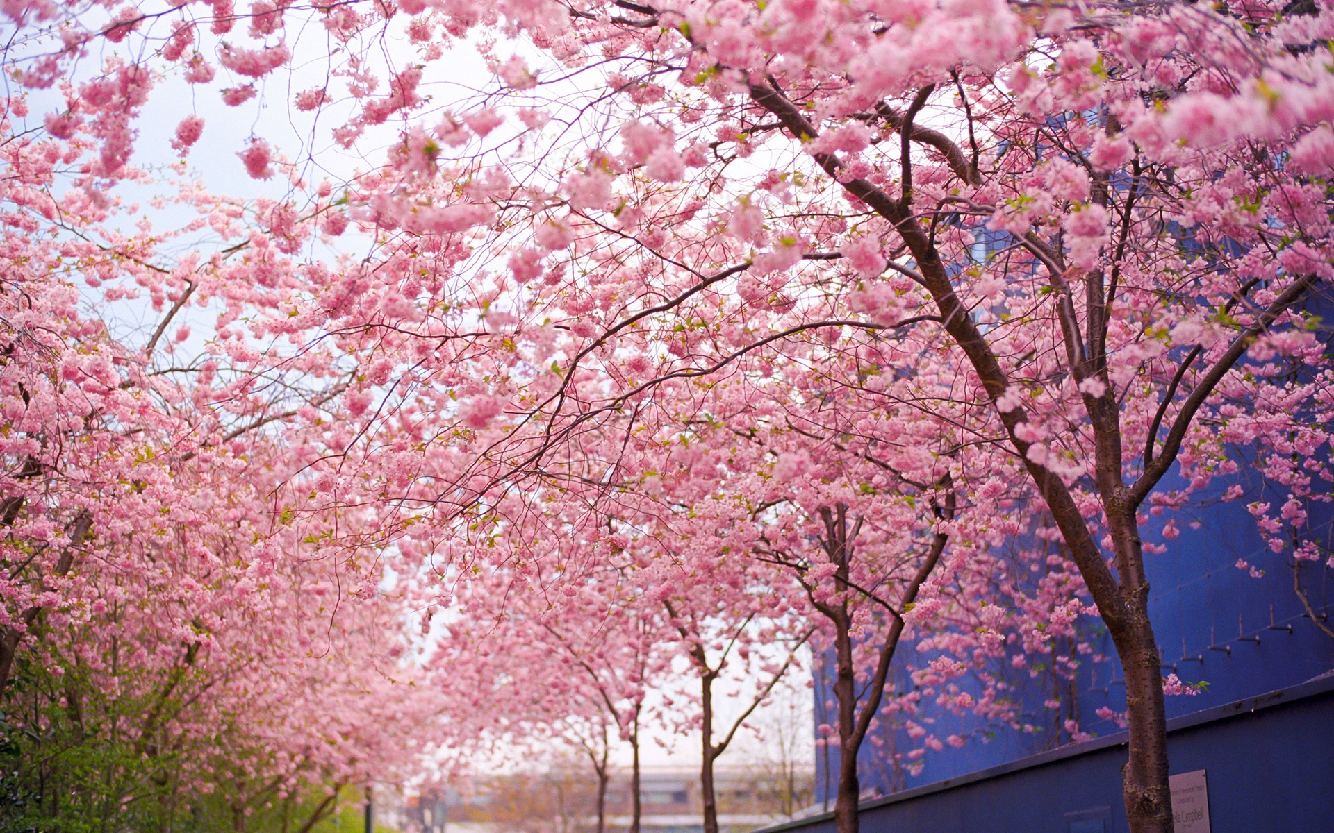 Cherry Blossom Tree Wallpaper 18 1920x1200