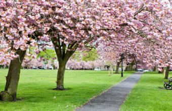 Cherry Blossom Tree Wallpaper 19 2560x1536 340x220