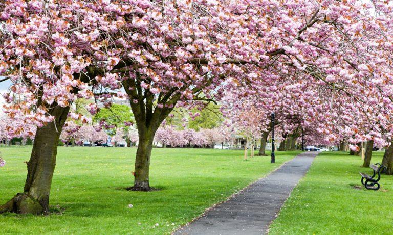 Cherry Blossom Tree Wallpaper 19 2560x1536 768x461