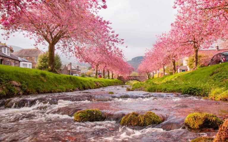 Cherry Blossom Tree Wallpaper 21 2560x1600 768x480
