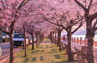 Cherry Blossom Tree Wallpaper 22 800x532 340x220