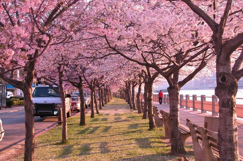 Cherry Blossom Tree Wallpaper 22 800x532