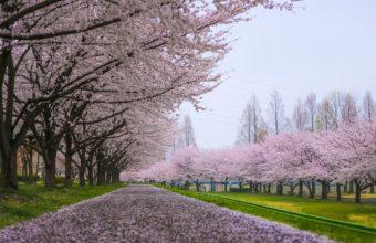 Cherry Blossom Tree Wallpaper 23 1920x1200 340x220