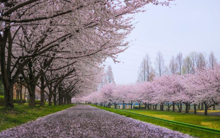 Cherry Blossom Tree Wallpaper 23 1920x1200 768x480