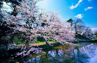 Cherry Blossom Tree Wallpaper 27 1920x1200 340x220