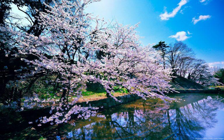 Cherry Blossom Tree Wallpaper 27 1920x1200 768x480