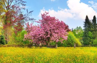 Cherry Blossom Tree Wallpaper 28 1920x1200 340x220