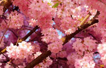 Cherry Blossom Tree Wallpaper 29 1920x1200 340x220