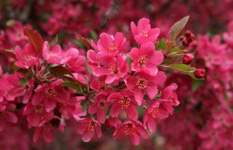 Cherry Blossom Tree Wallpaper 30 1920x1080 340x220