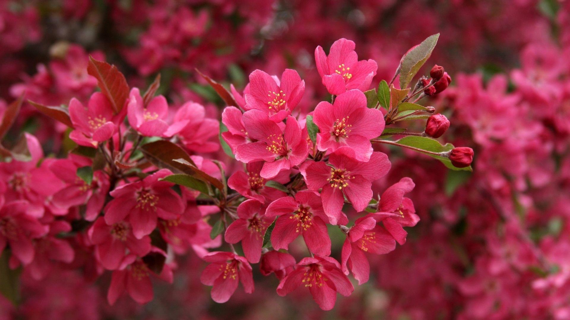 Cherry Blossom Tree Wallpaper 30 1920x1080