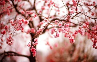 Cherry Blossom Tree Wallpaper 31 1366x768 340x220