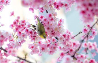 Cherry Blossom Tree Wallpaper 32 2048x1360 340x220