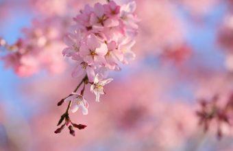 Cherry Blossom Tree Wallpaper 33 5459x3574 340x220