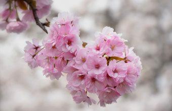 Cherry Blossom Tree Wallpaper 34 3700x2463 340x220