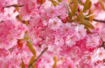 Cherry Blossom Tree Wallpaper 37 2560x1600 340x220