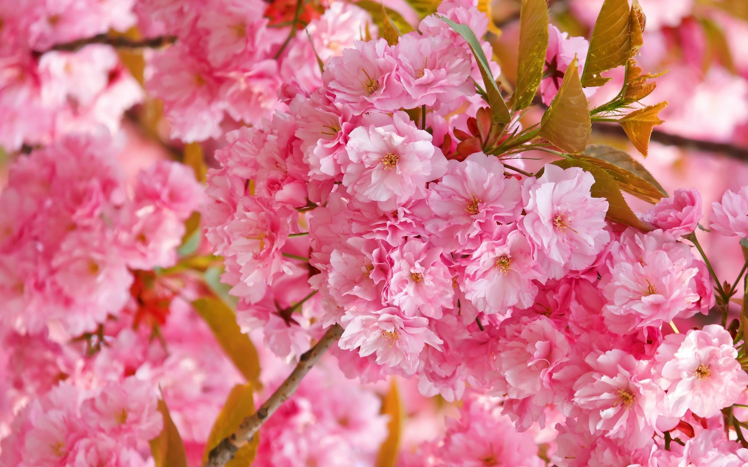 Cherry Blossom Tree Wallpaper 37 - [2560x1600]