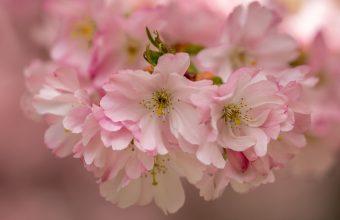 Cherry Blossom Tree Wallpaper 39 3552x2664 340x220