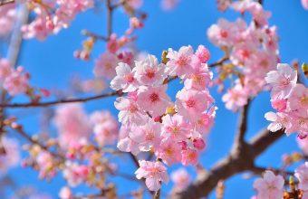 Cherry Blossom Tree Wallpaper 40 1920x1270 340x220