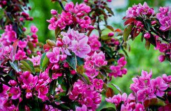 Cherry Blossom Tree Wallpaper 42 4396x2736 340x220