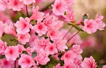 Cherry Blossom Tree Wallpaper 43 1920x1080 340x220