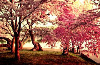 Cherry Blossom Tree Wallpaper 45 1920x1200 340x220