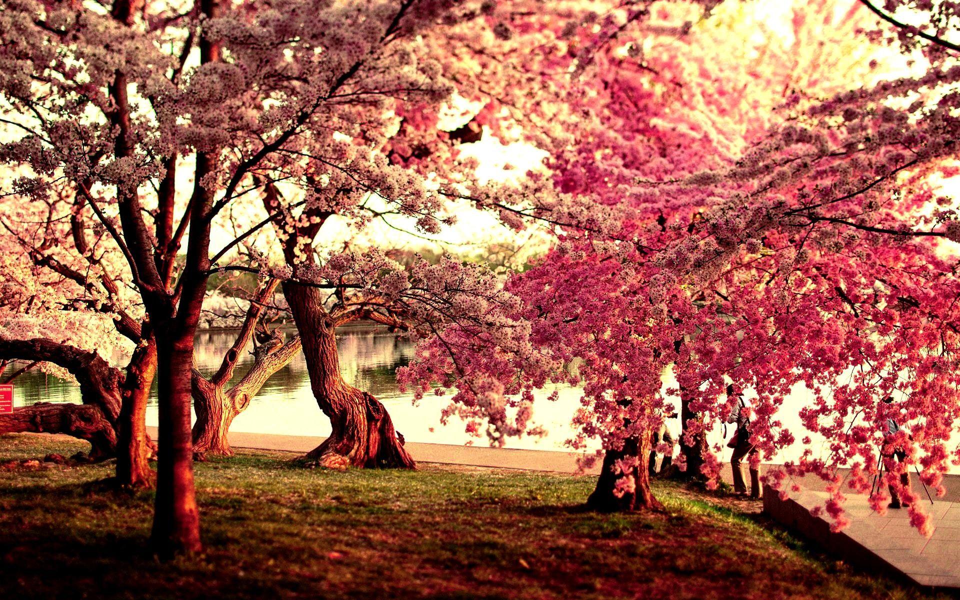 Cherry Blossom Tree Wallpaper 45 - [1920x1200]