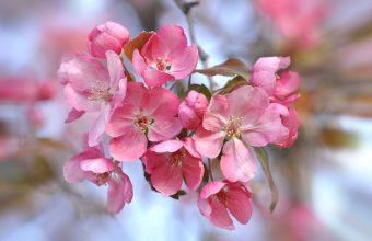 Cherry Blossom Tree Wallpaper 46 2048x1360 340x220