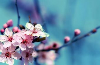 Cherry Blossom Tree Wallpaper 49 1920x1080 340x220