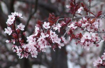 Cherry Blossom Tree Wallpaper 51 1920x1200 340x220