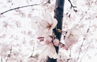 Cherry Blossom Tree Wallpaper 52 4032x3024 340x220