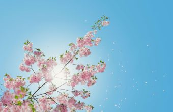 Cherry Blossom Tree Wallpaper 53 6000x4000 340x220
