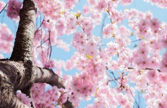 Cherry Blossom Tree Wallpaper 54 4896x3060 340x220