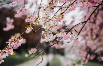 Cherry Blossom Tree Wallpaper 55 6000x4000 340x220
