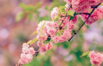 Cherry Blossom Tree Wallpaper 58 4928x3264 340x220