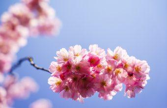 Cherry Blossom Tree Wallpaper 59 2500x1668 340x220