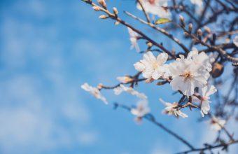 Cherry Blossom Tree Wallpaper 61 6000x4000 340x220