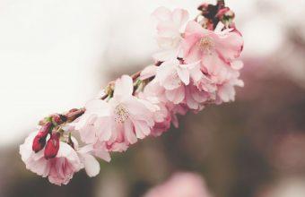 Cherry Blossom Tree Wallpaper 62 5507x3077 340x220