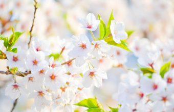 Cherry Blossom Tree Wallpaper 63 4421x2947 340x220