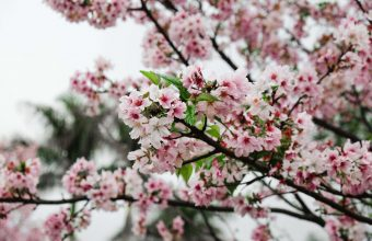 Cherry Blossom Tree Wallpaper 66 4896x3264 340x220