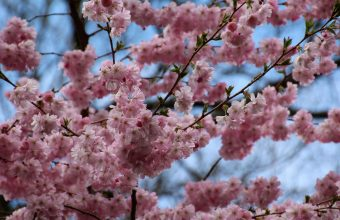 Cherry Blossom Tree Wallpaper 67 5184x3456 340x220
