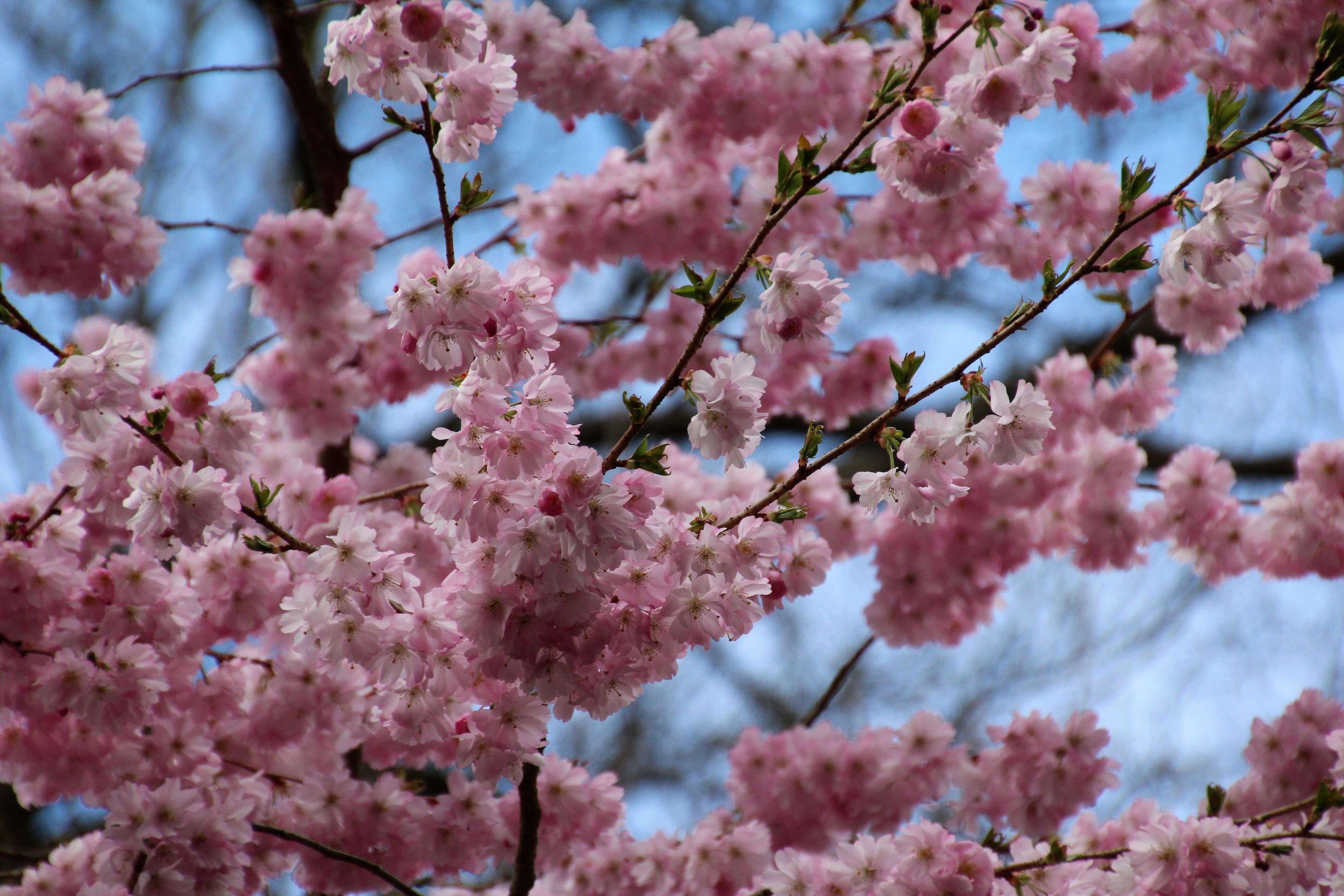 Cherry Blossom Tree Wallpaper 67 - [5184x3456]