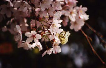 Cherry Blossom Tree Wallpaper 69 2310x1536 340x220